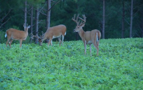 Soybean Field Food Plot