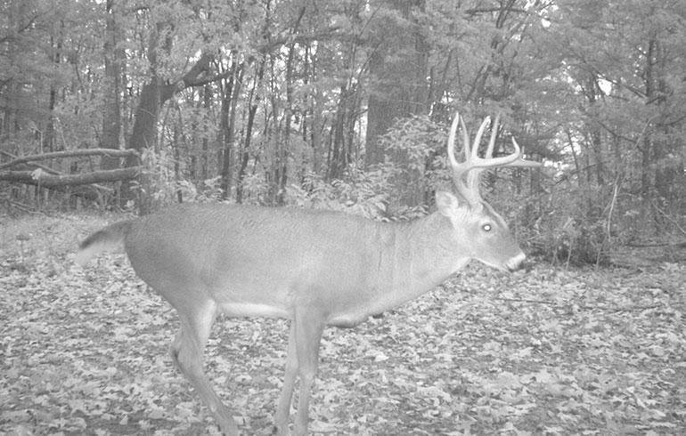 Deer pre-rut