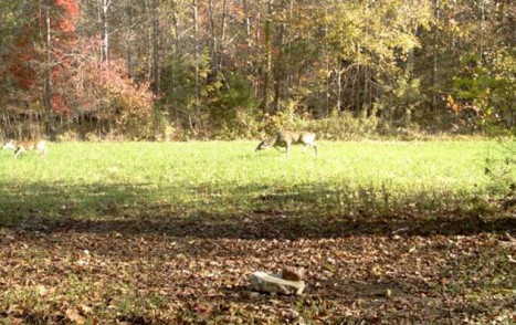 Buck chasing doe