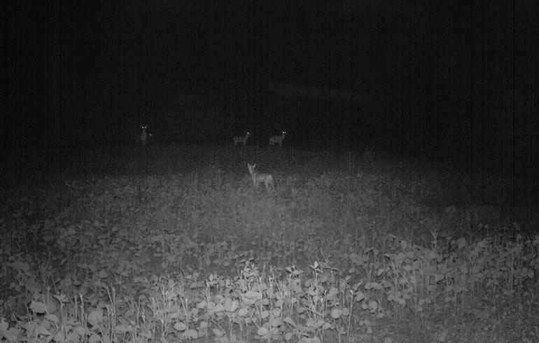 coyote trail camera