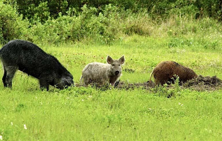 feral hog hunting