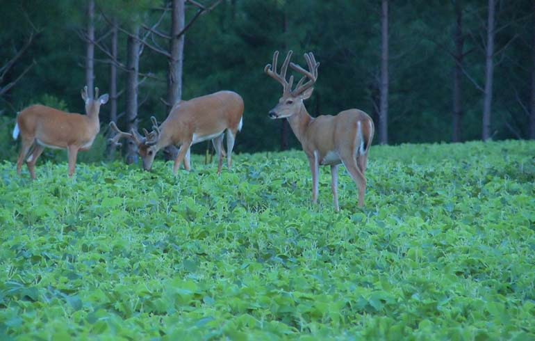 bucks in soybean field