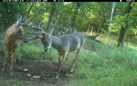 2014-08-17_2014-08-14_Richard_Hales_buck_molting_summer_coat_with_buck_fully_in_summer_coat_at_Trophy_Rock_-_permission