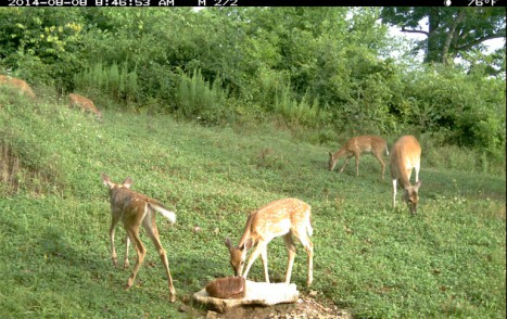 2014-08-29_55th_blog_pic_-_four_fawns_at_Boom_Glade_Trophy_Rock_-__Lots_of_fawns_should_mean_big_bucks