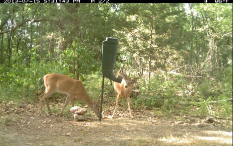 2014-09-24_2013-07-15_George_at_Redneck_Tpost_feeder_at_50_acre_east_17_31_pm