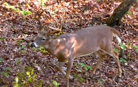2014-09-24_A_buck_sighting_can_be_are_durnig_the_October_lull
