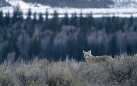 Coyote_USGSPhoto