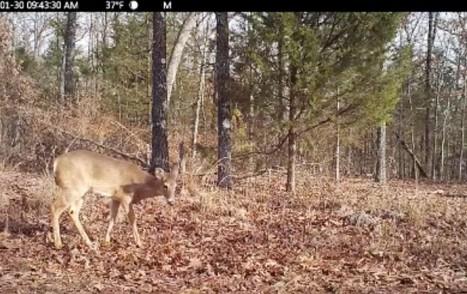Calm Deer
