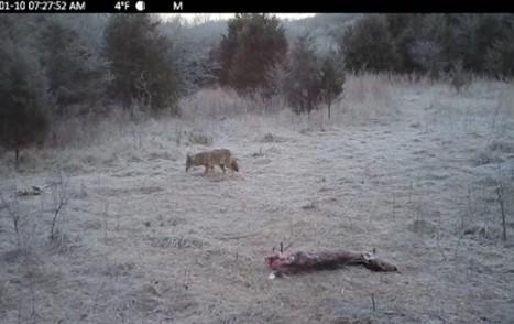 grant-wood-coyote