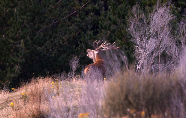 stag_roaring
