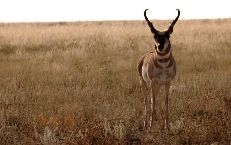 Antelope_Frontal