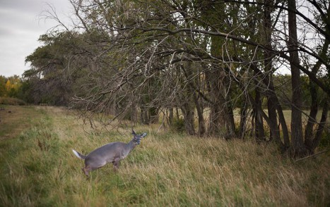 2015-09_image_of_Montana_Doe_decoy_by_fence_row