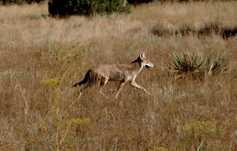 coyote_walking_by_close