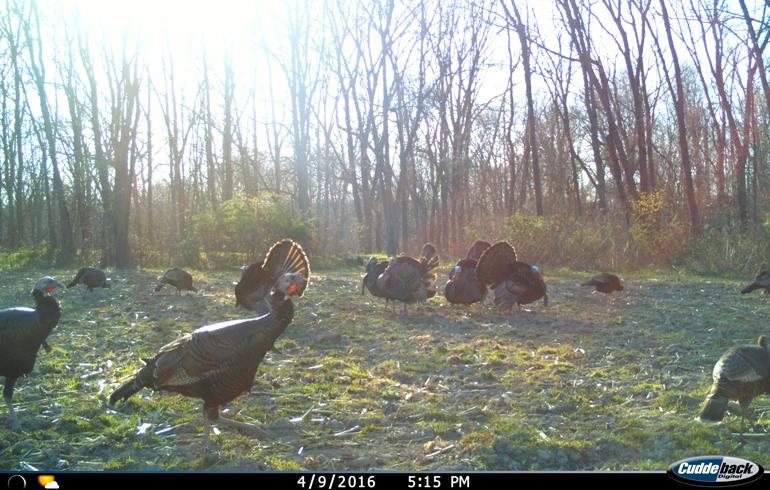 Cuddeback_turkey_scouting_pic
