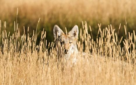 Coyote__DePalma001