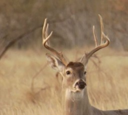 Oklahoma deer
