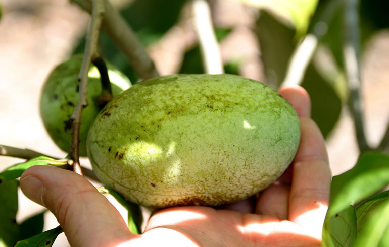 Soft Mast PawPaw fruit