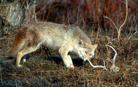 Coyote_with_whitetail