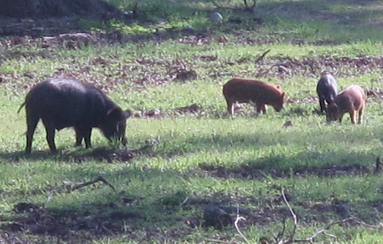 What To Hunt In The Summertime Give Feral Hogs A Try Winchester Ammunition