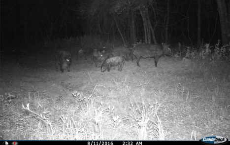 Cuddeback_night_hogs
