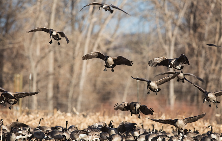 Understanding Shot Sizes For Ducks And Geese Winchester Ammunition