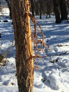 tree_rub